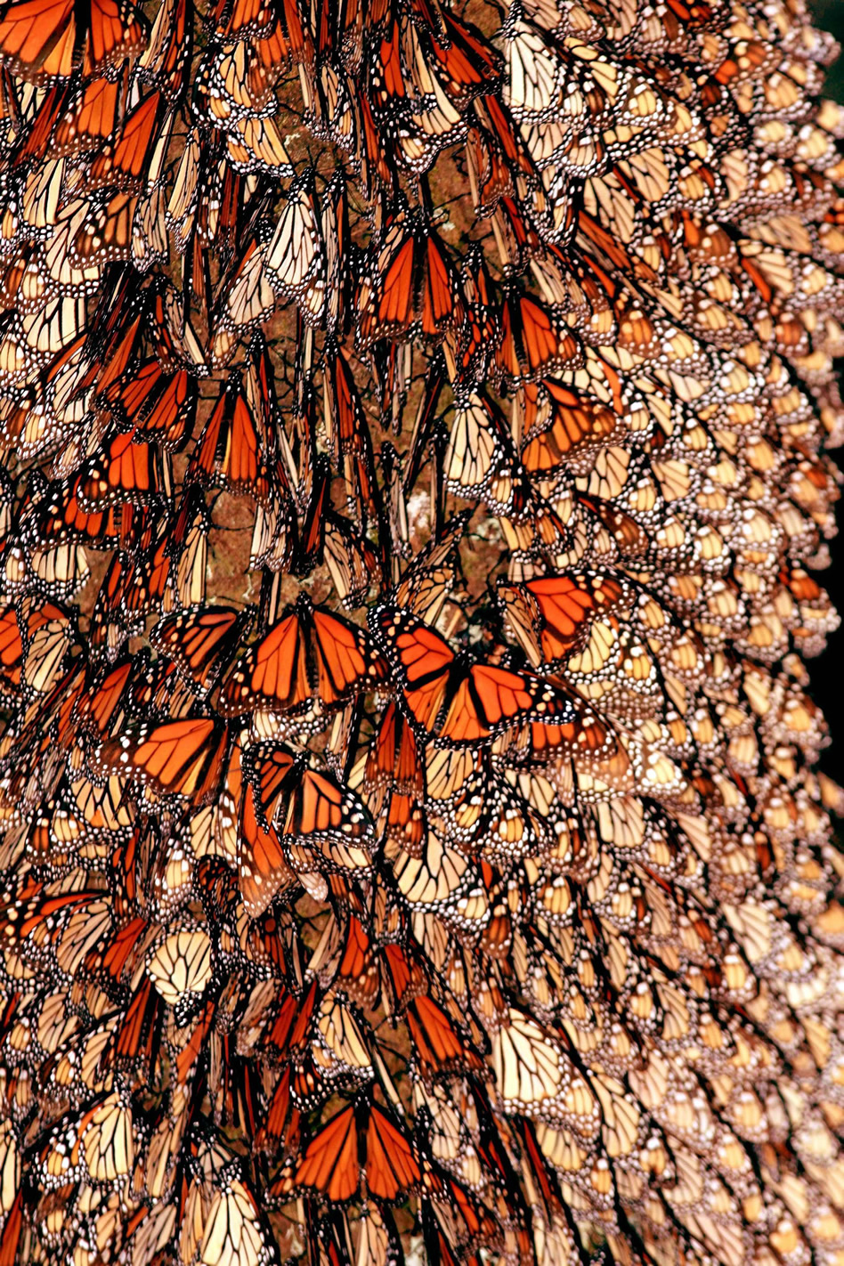 México, entre maravillas del mundo moderno mariposas monarca mexico